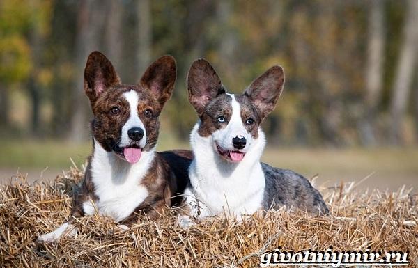 Вельш-корги-кардиган-собака-Описание-особенности-уход-и-цена-породы-5