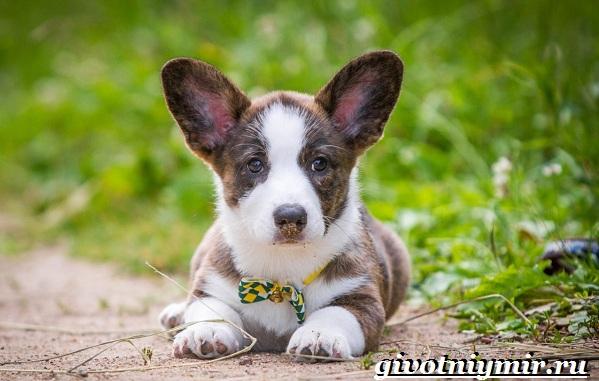 Вельш-корги-кардиган-собака-Описание-особенности-уход-и-цена-породы-8
