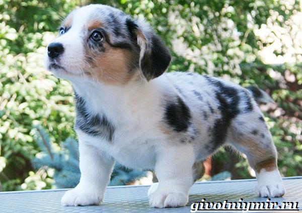 Вельш-корги-кардиган-собака-Описание-особенности-уход-и-цена-породы-9