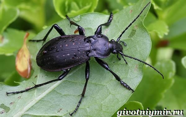 Жужелица-насекомое-Образ-жизни-и-среда-обитания-жужелицы-1