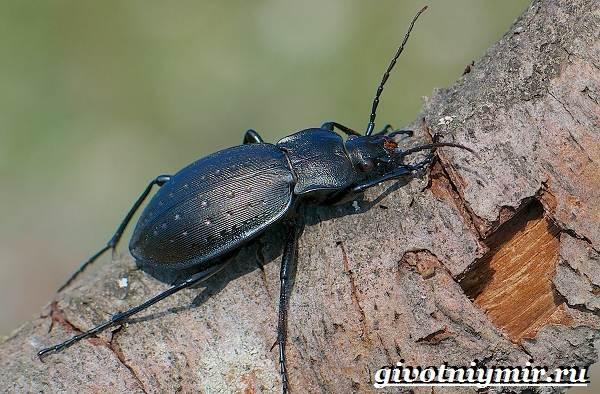 Жужелица-насекомое-Образ-жизни-и-среда-обитания-жужелицы-10