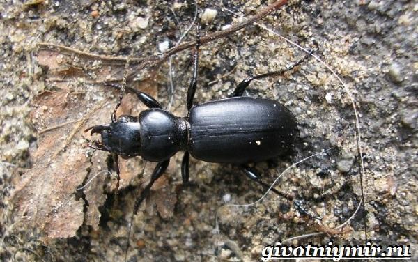 Жужелица-насекомое-Образ-жизни-и-среда-обитания-жужелицы-11