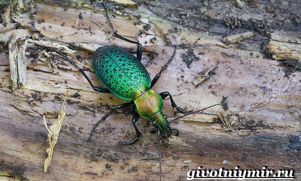 Жужелица-насекомое-Образ-жизни-и-среда-обитания-жужелицы-12