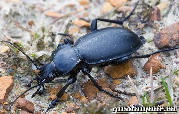 Жужелица-насекомое-Образ-жизни-и-среда-обитания-жужелицы-3