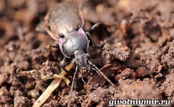 Жужелица-насекомое-Образ-жизни-и-среда-обитания-жужелицы-4
