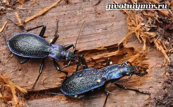 Жужелица-насекомое-Образ-жизни-и-среда-обитания-жужелицы-5