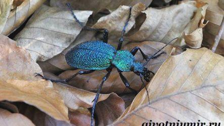 Жужелица насекомое. Образ жизни и среда обитания жужелицы