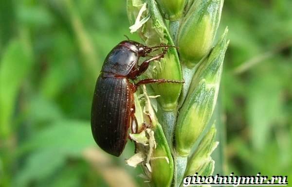 Жужелица-насекомое-Образ-жизни-и-среда-обитания-жужелицы-7