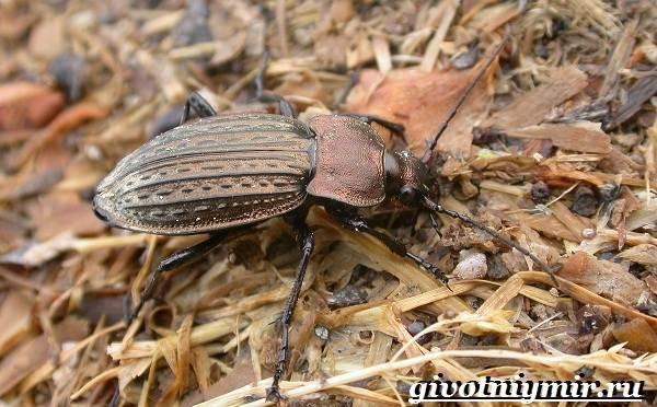 Жужелица-насекомое-Образ-жизни-и-среда-обитания-жужелицы-8