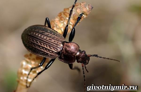 Жужелица-насекомое-Образ-жизни-и-среда-обитания-жужелицы-9
