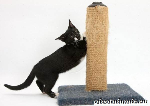 Как-приучить-кота-к-когтеточке-2
