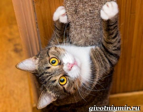 Как-приучить-кота-к-когтеточке-7