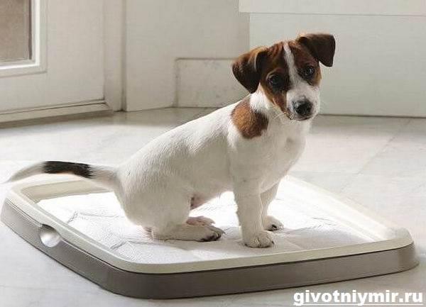 Как-приучить-щенка-к-туалету-4