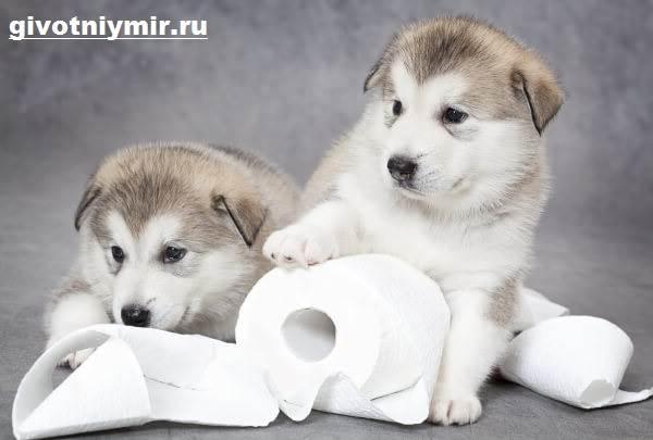 Как-приучить-щенка-к-туалету-5