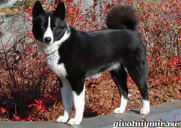 Карельская-медвежья-собака-Описание-особенности-уход-и-цена-породы-1
