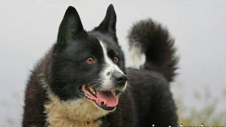 Карельская медвежья собака. Описание, особенности, уход и цена породы