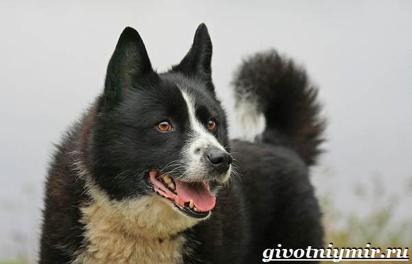 Карельская-медвежья-собака-Описание-особенности-уход-и-цена-породы-3