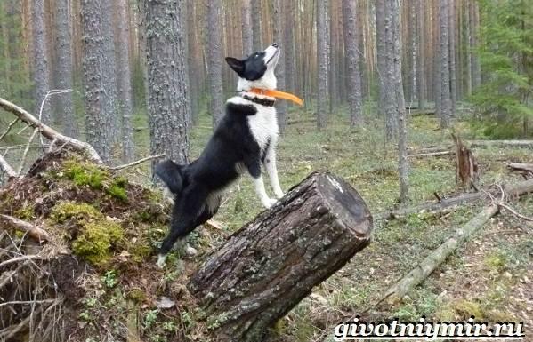 Карельская-медвежья-собака-Описание-особенности-уход-и-цена-породы-4