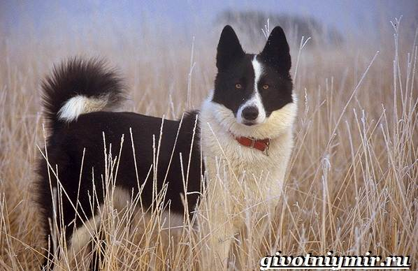 Карельская-медвежья-собака-Описание-особенности-уход-и-цена-породы-5