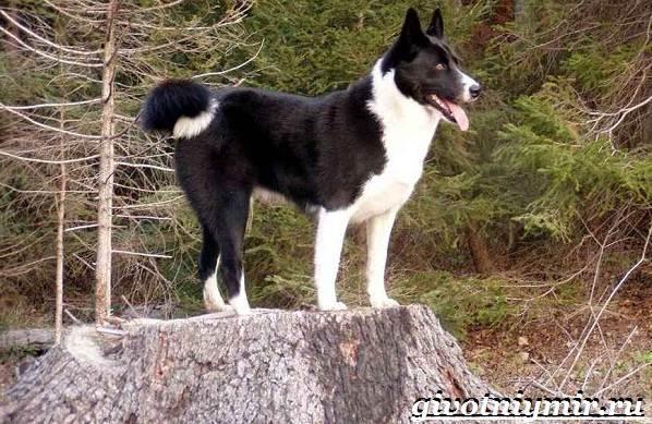 Карельская-медвежья-собака-Описание-особенности-уход-и-цена-породы-7