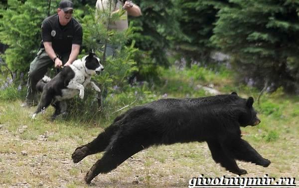 Карельская-медвежья-собака-Описание-особенности-уход-и-цена-породы-8