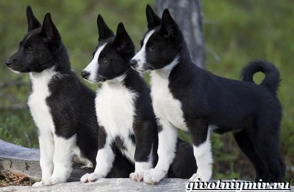 Карельская-медвежья-собака-Описание-особенности-уход-и-цена-породы-9