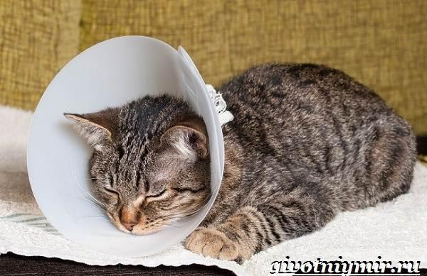 Кастрация-котов-Описание-процедуры-и-уход-за-животным-после-операции-5