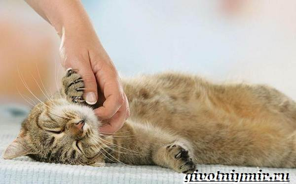 Кастрация-котов-Описание-процедуры-и-уход-за-животным-после-операции-9