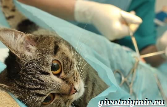 Кастрация-котов-Описание-процедуры-и-уход-за-животным-после-операции