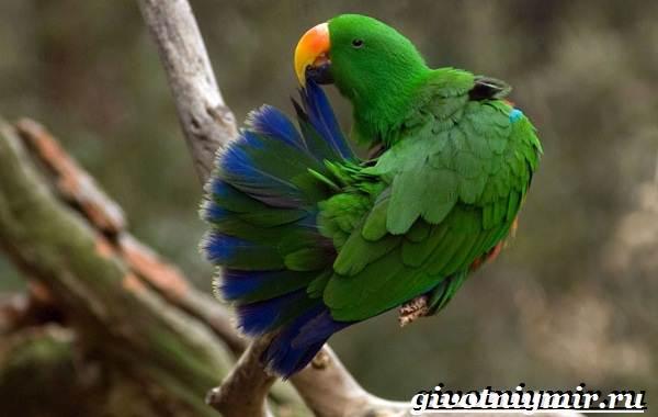 Попугай-эклектус-птица-Образ-жизни-и-среда-обитания-попугая-эклектус-3