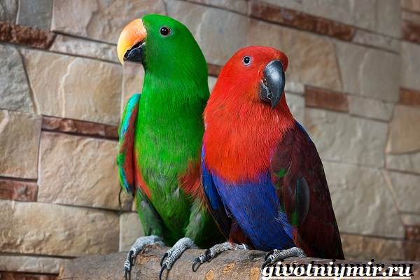 Попугай-эклектус-птица-Образ-жизни-и-среда-обитания-попугая-эклектус-4