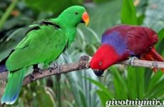Попугай эклектус птица. Образ жизни и среда обитания попугая эклектус