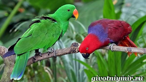 Попугай-эклектус-птица-Образ-жизни-и-среда-обитания-попугая-эклектус-5