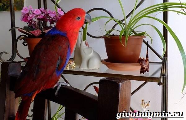 Попугай-эклектус-птица-Образ-жизни-и-среда-обитания-попугая-эклектус-7