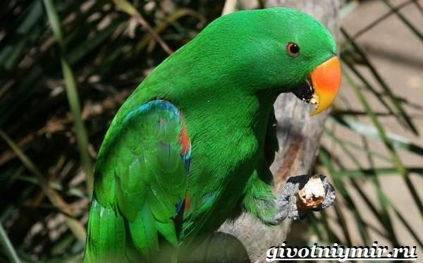 Попугай-эклектус-птица-Образ-жизни-и-среда-обитания-попугая-эклектус-8