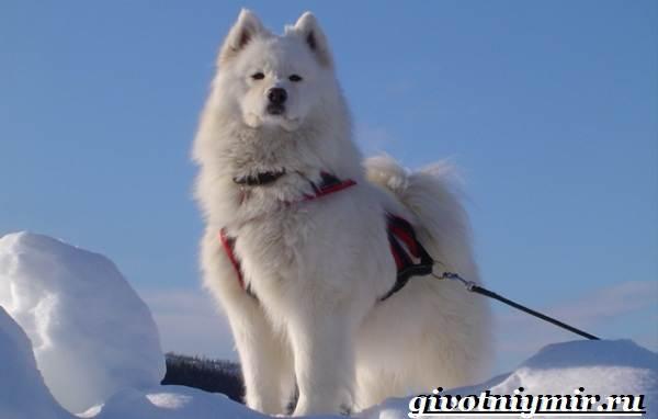 Якутская-лайка-собака-Описание-особенности-уход-и-цена-породы-1