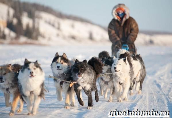Якутская-лайка-собака-Описание-особенности-уход-и-цена-породы-10