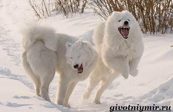 Якутская-лайка-собака-Описание-особенности-уход-и-цена-породы-2