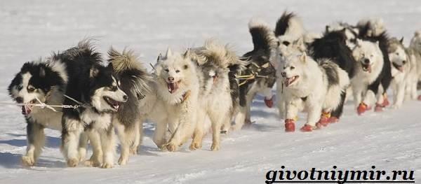 Якутская-лайка-собака-Описание-особенности-уход-и-цена-породы-3