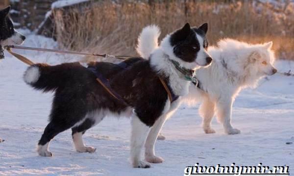 Якутская-лайка-собака-Описание-особенности-уход-и-цена-породы-5
