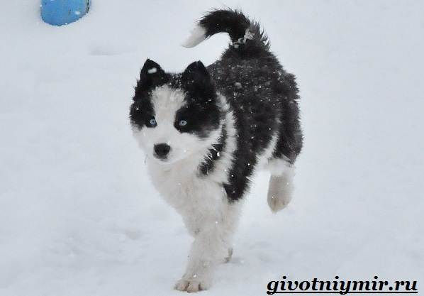 Якутская-лайка-собака-Описание-особенности-уход-и-цена-породы-6