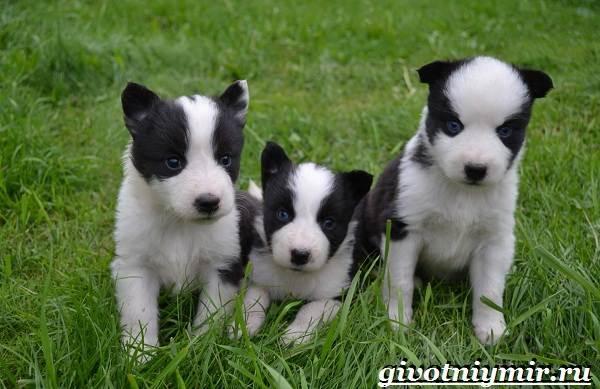 Якутская-лайка-собака-Описание-особенности-уход-и-цена-породы-7