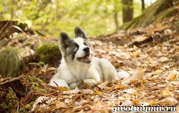 Якутская-лайка-собака-Описание-особенности-уход-и-цена-породы-8