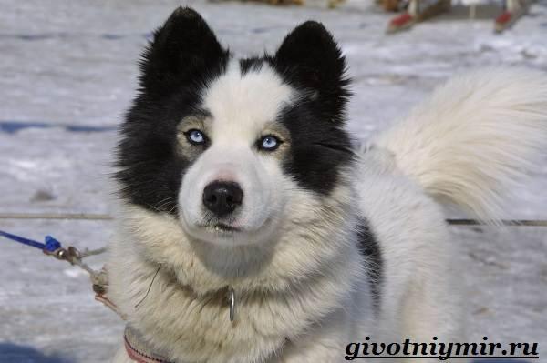 Якутская-лайка-собака-Описание-особенности-уход-и-цена-породы-9