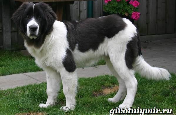 Ландсир-собака-Описание-особенности-уход-и-цена-породы-ландсир-1