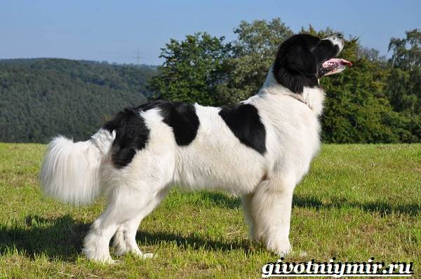 Ландсир-собака-Описание-особенности-уход-и-цена-породы-ландсир-2