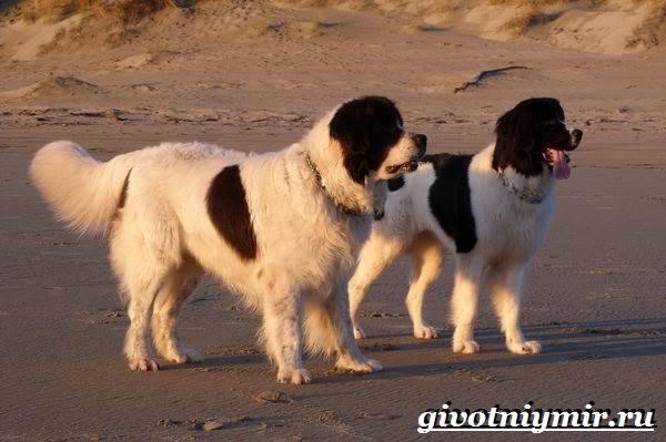 Ландсир-собака-Описание-особенности-уход-и-цена-породы-ландсир-3