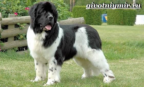 Ландсир-собака-Описание-особенности-уход-и-цена-породы-ландсир-4