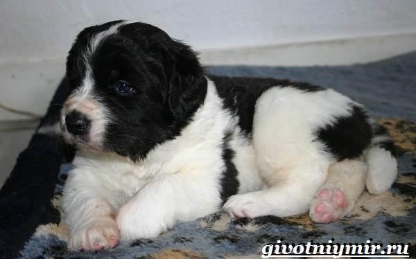 Ландсир-собака-Описание-особенности-уход-и-цена-породы-ландсир-5