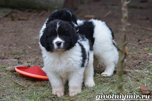 Ландсир-собака-Описание-особенности-уход-и-цена-породы-ландсир-6